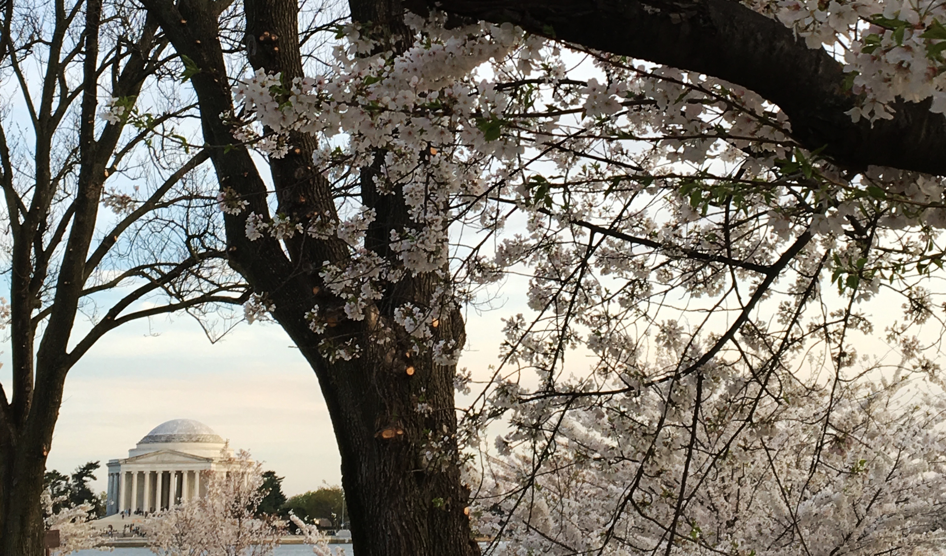 Cherry Trees & Jefferson Memorial