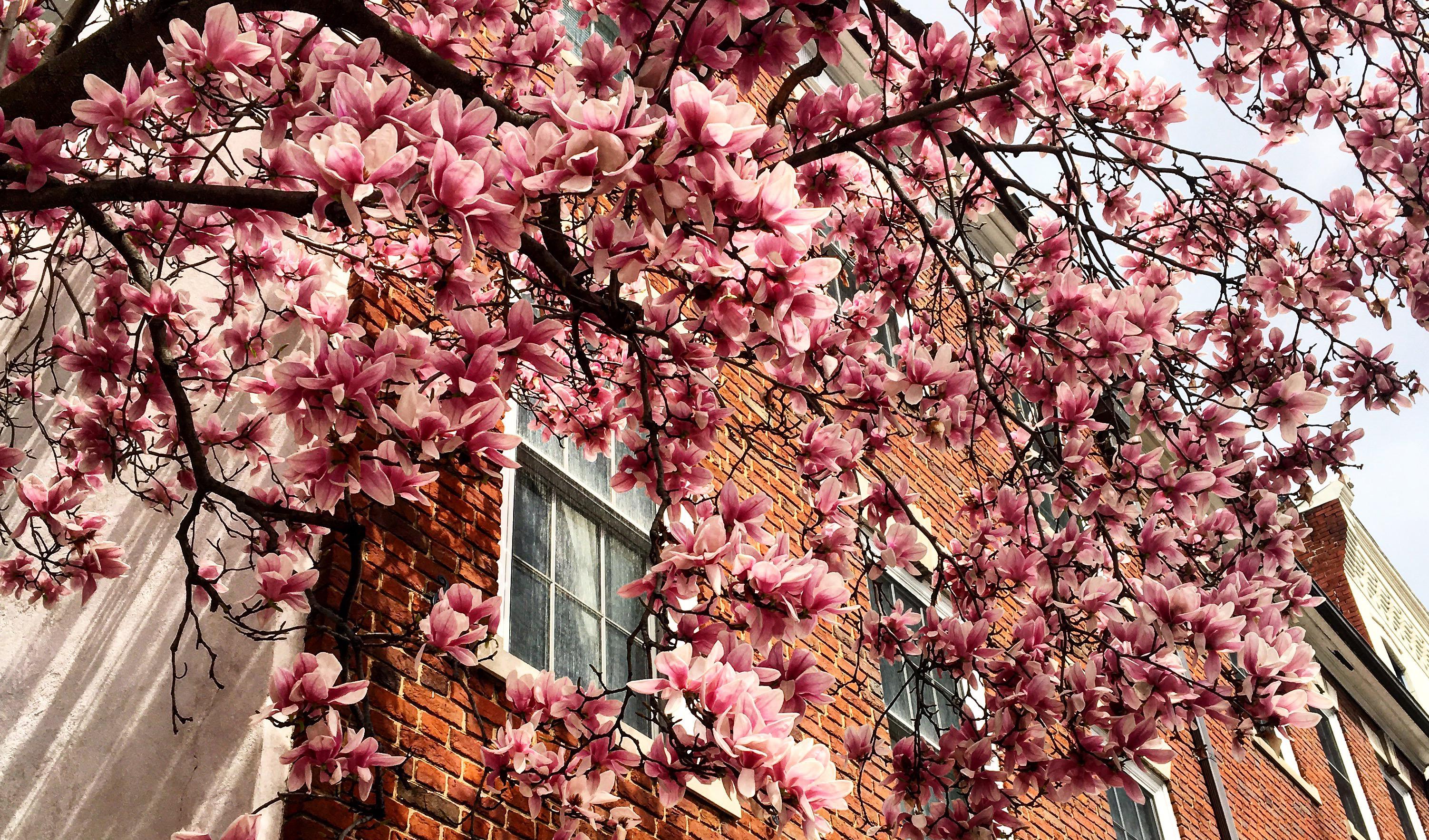 j'en profite pour vous montrer le printemps incroyable à Washington DC